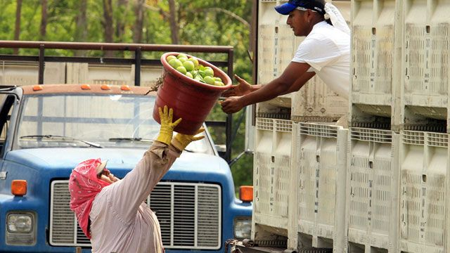 Farmworkers pick tomatoes at Taylor & Fulton Tomatoes in Immokalee, Fla. March 2006 (AP Photo/Luis M. Alvarez)
