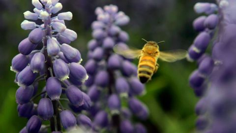 A carniolan honey bee works the hyacinth in Washington Park in Albany, N.Y. (AP Photo/Mike Groll)