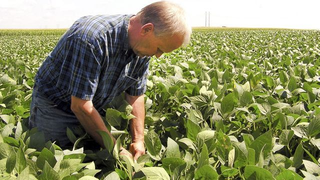 Alan Roelofs examines a soybean field on his farm near Tyler in southwest Minnesota in an undated photo. (AP Photo/Minnesota Public Radio, Mark Steil)