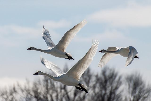Tundra swans in flight at  Hullett Provincial Wildlife Area in Ontario. (Photo: Conrad Kuiper/Flickr)