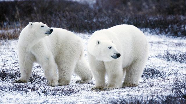 Polar Bear (Photo: U.S. Fish and Wildlife Service Headquarters / Gary Kramer/flickr  CC 2.0)