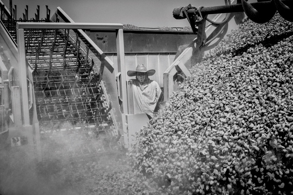A worker watches an almond harvesting machine dump harvest nuts near the town of Kerman in California's Central Valley. Photo by Matt Black.