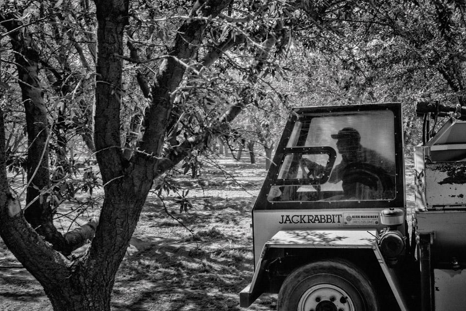 A worker drives a harvester through an orchard.