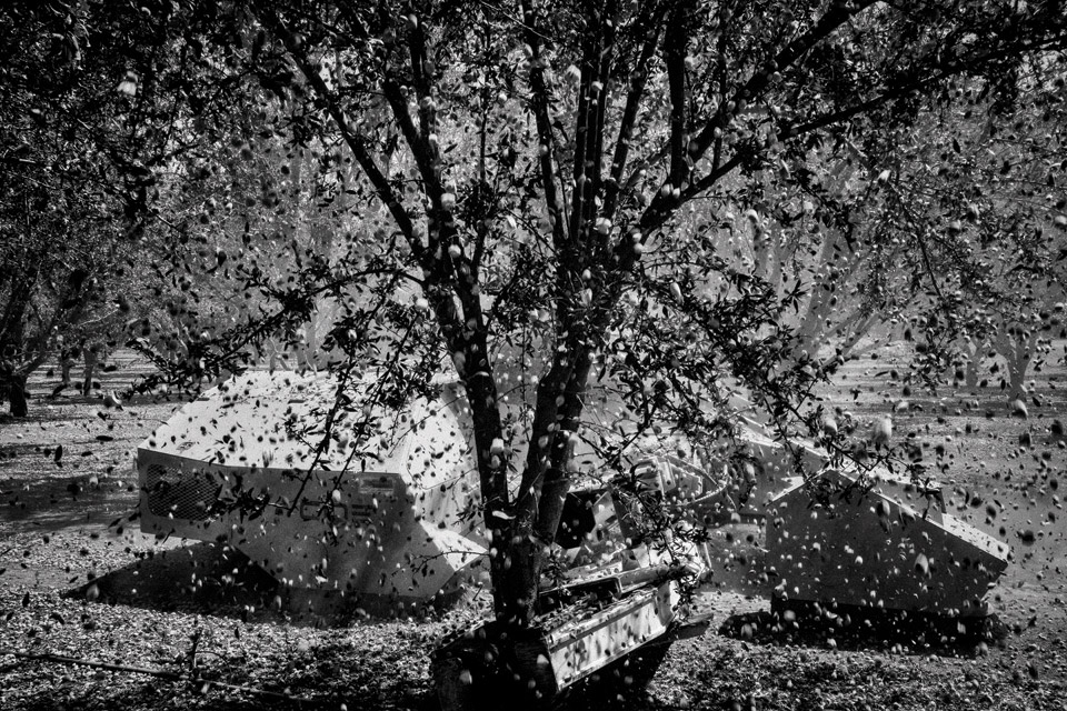 An almond shaker knocks nuts from a tree in an orchard near Firebaugh in California's Central Valley. Photo by Matt Black.