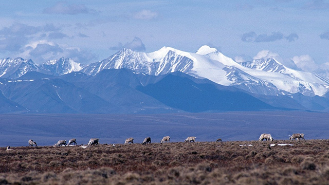 Caribou graze on the coastal plain of the Arctic National Wildlife Refuge, with the Brooks Range as a backdrop. (Photo: US Fish and Wildlife Service Headquarters/flickr CC 2.0)