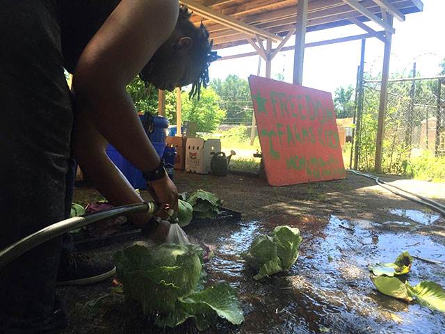 A member of the Freedom Farms Cooperative cleans some cabbages. (Photo courtesy of Kali Akuno/Cooperation Jackson)