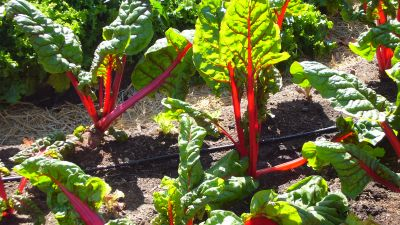 """Chard in a victory garden. """"When I pluck my own kale leaves and feel connected to the larger urban farming community, all of us eating something out of our own yards, I'm sometimes reminded of the victory gardens of the World War II era,"""" writes Frida Berrigan. (Photo by mercedesfromtheeighties/ flickr CC 2.0)"""